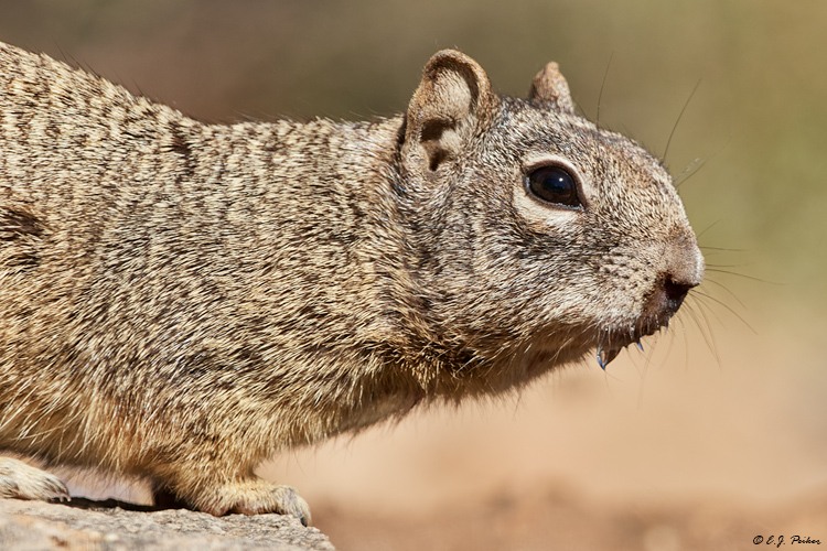 Rock Squirrel, AZ