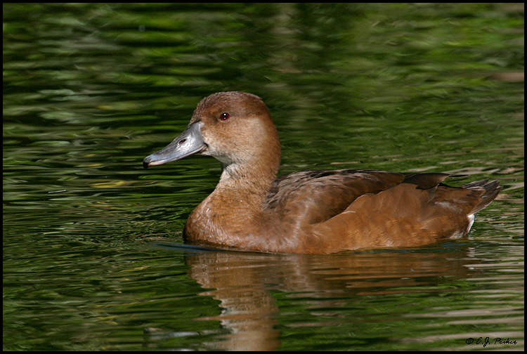 Rosy-billed Pochard, Litchfield Park, AZ