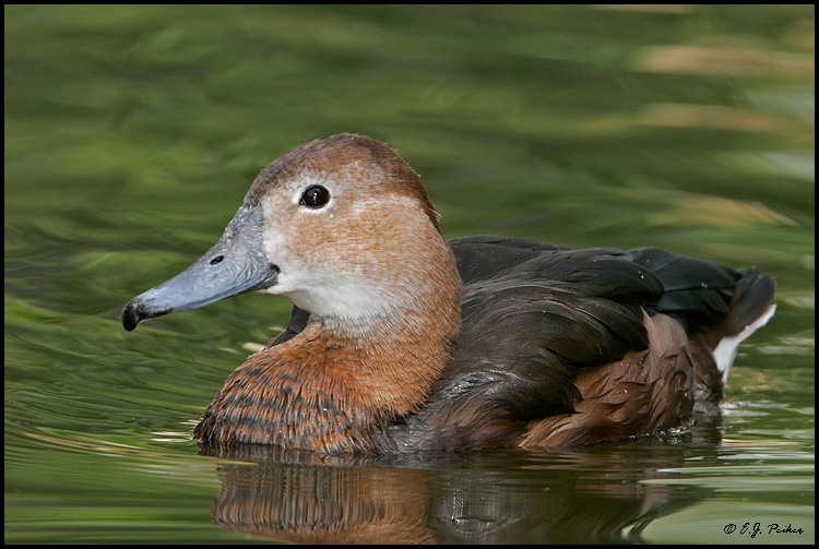 Rosy-billed Pochard, Tucson, AZ
