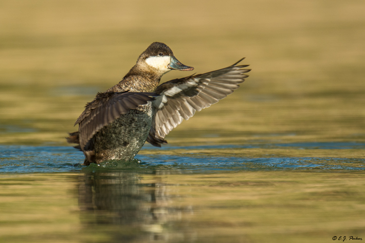 Ruddy Duck, Fountain Hills, AZ