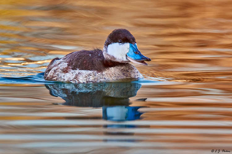 Ruddy Duck, Gilbert, AZ