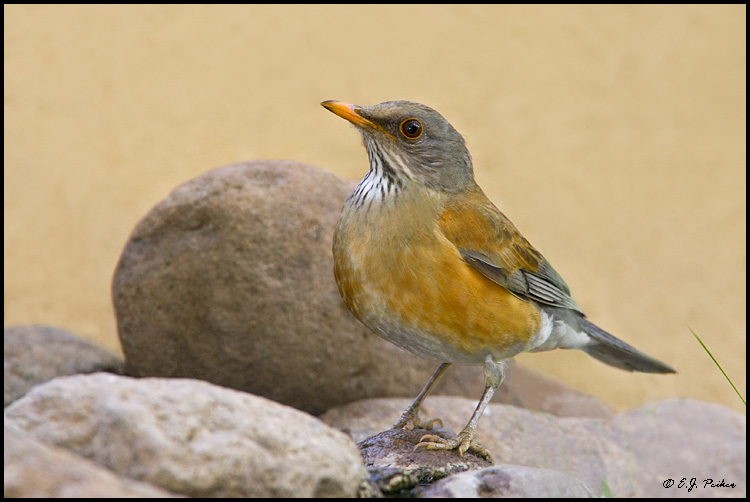 Rufous-backed Robin, Superior, AZ