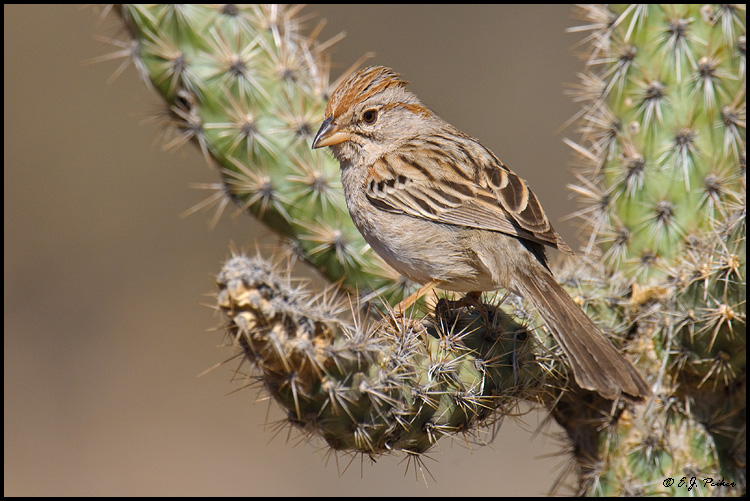 Rufous-winged Sparrow, Amado, AZ