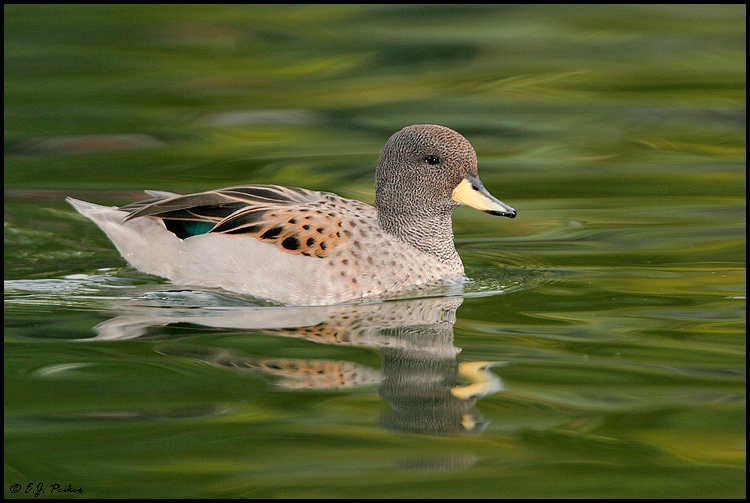 Speckled Teal, Litchfield Park, AZ