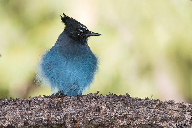 Steller's Jay, Grand Canyon, AZ