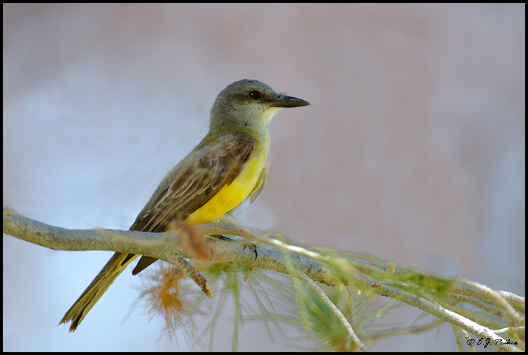 Tropical Kingbird, Kino, Springs, AZ