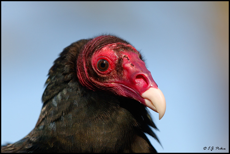 Turkey Vulture, Phoenix, AZ (captive)