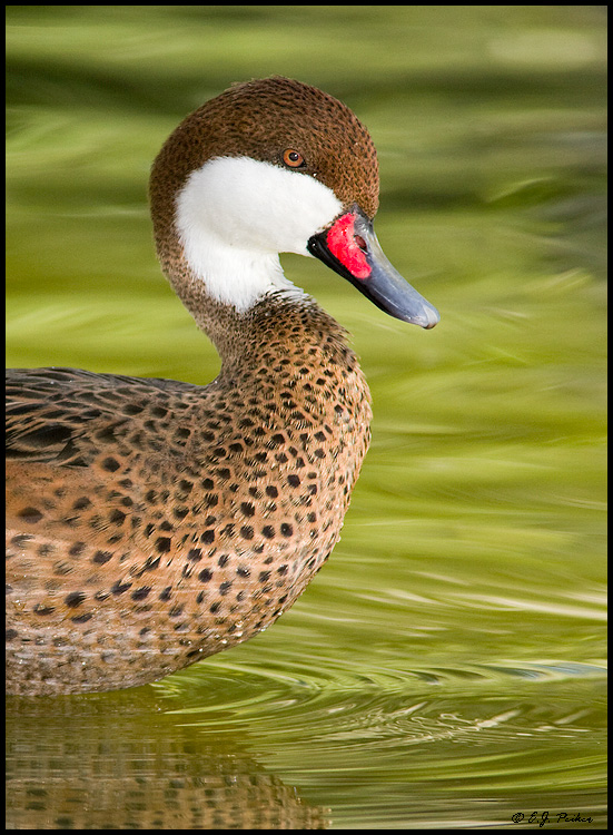White-cheeked Pintail,Litchfield Park, AZ
