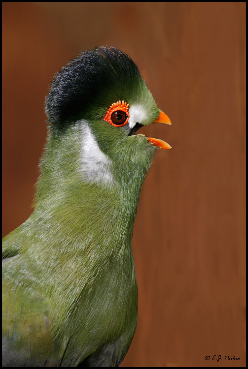 White-cheeked Turaco, Litchfield Park, FL