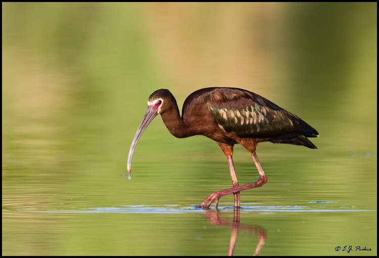 White-faced Ibis, Gilbert, AZ