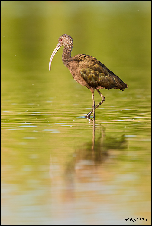 White-faced Ibis, Chandler, AZ