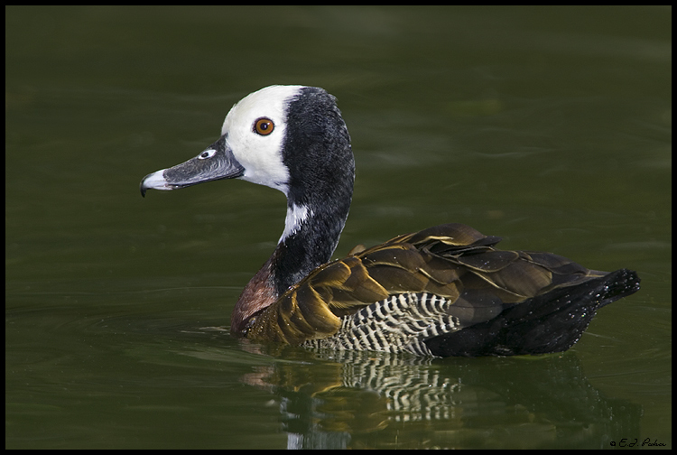 White-faced Whistling Duck, Litchfield Park, AZ