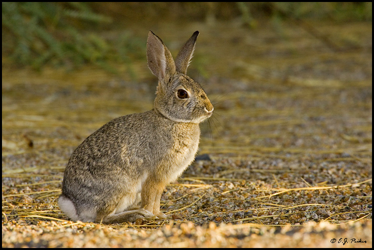 Cottontailed Rabbit, Gilbert, AZ