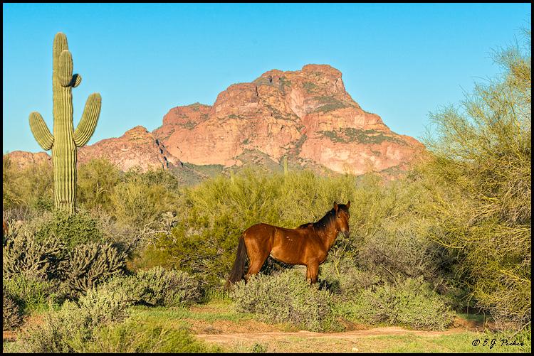 Wild Horse (Mustang), AZ