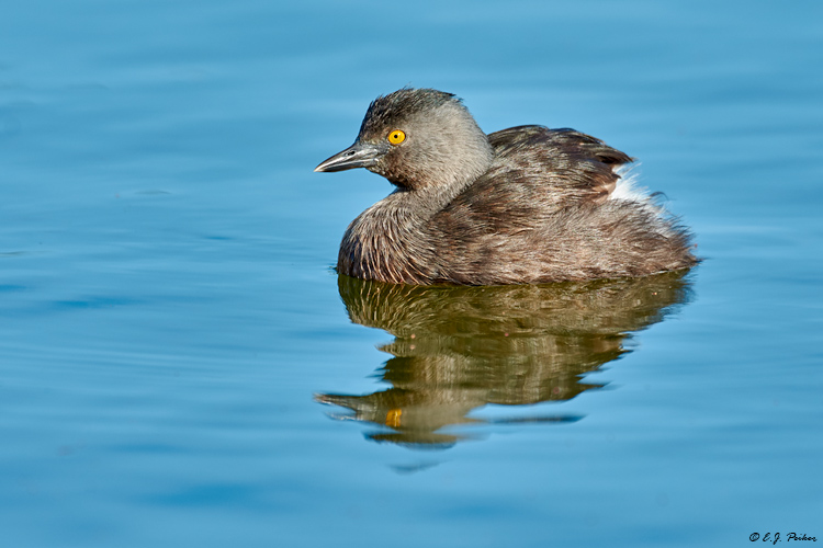 Least Grebe, Great Exuma, Bahamas