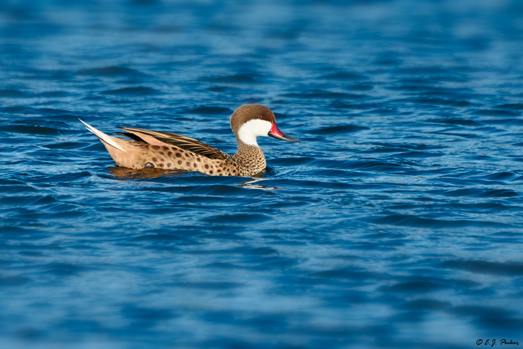 White-cheeked Pintail, Great Exuma, Bahamas