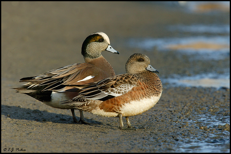 American wigeon - photo#10