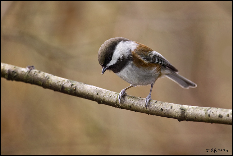 Chestnut-backed Chickadee, Vancouver, BC