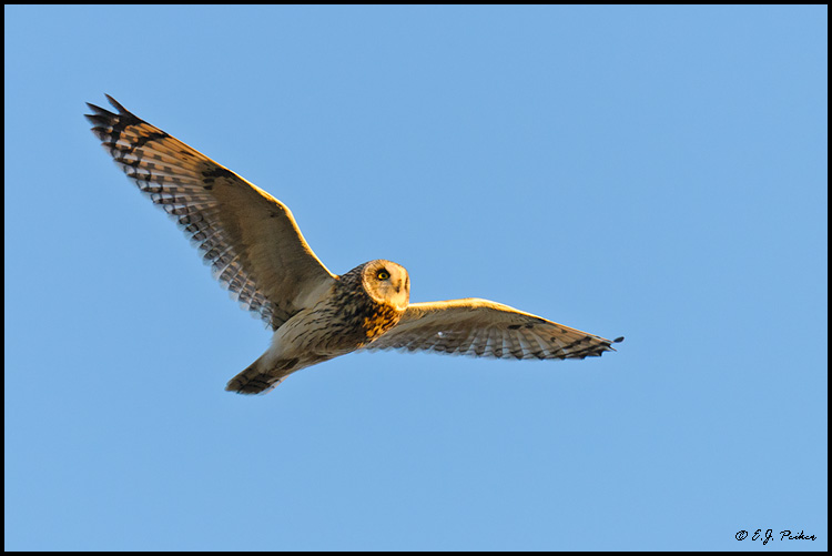 Short-eared Owl, Boundary Bay, BC