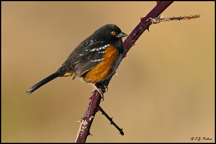Spotted Towhee, Boundary Bay, BC