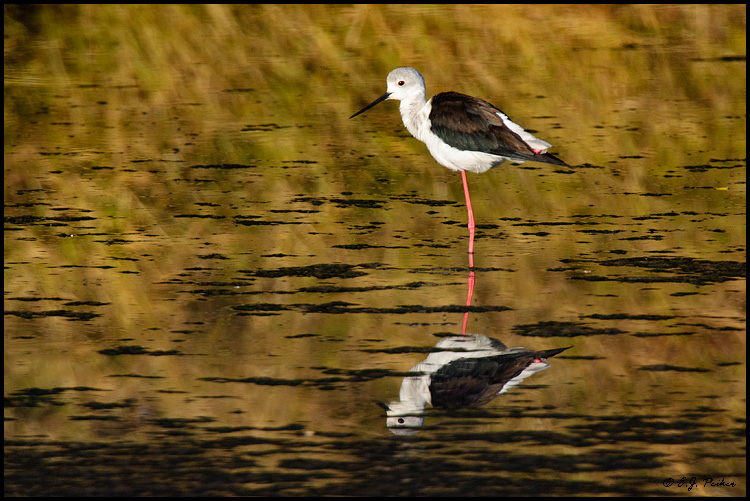 Black-winged Stilt, Botswana