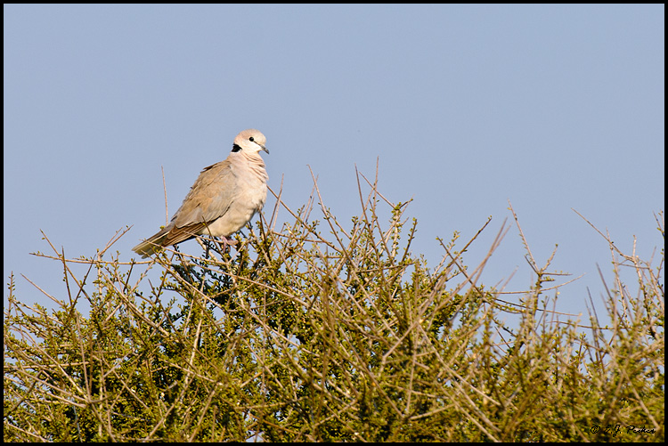 Cape Turtle Dove, Botswana