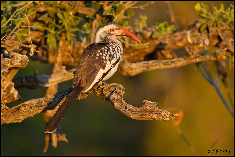 Red-billed Hornbill, South Africa