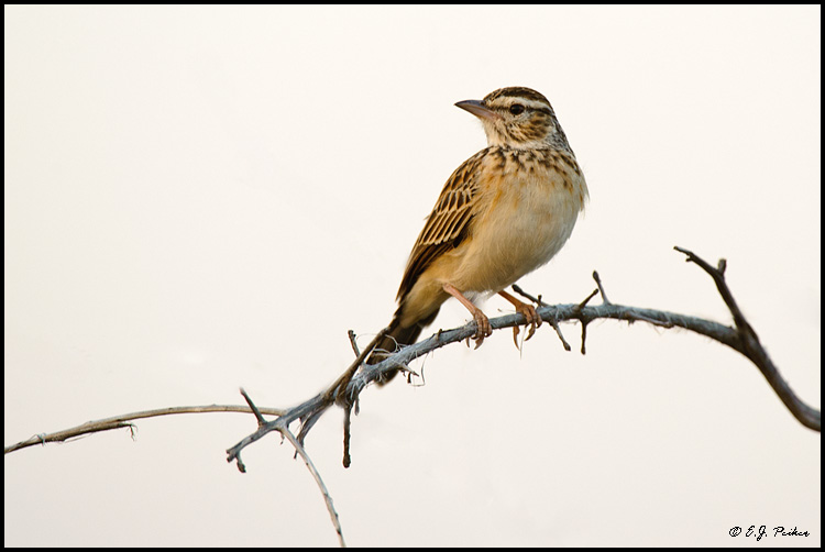 Sobata Lark, South Africa