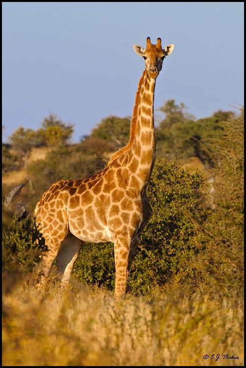 Giraffe photo - Giraffa camelopardalis - G12264   ARKive