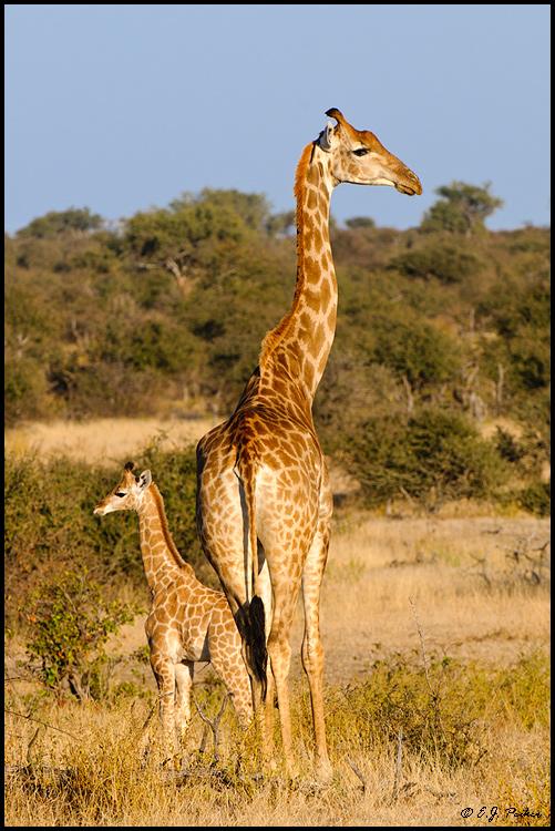 Southern Giraffe Page