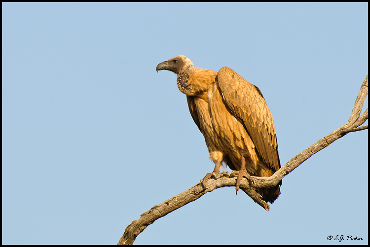 White-backed Vulture, South Africa