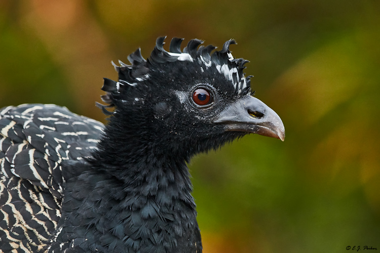 Bare-faced Currasow, Pantanal, Brazil