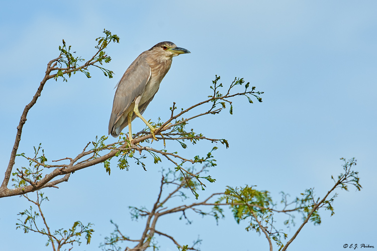 Black-crowned Night Heron, Pantanal, Brazil