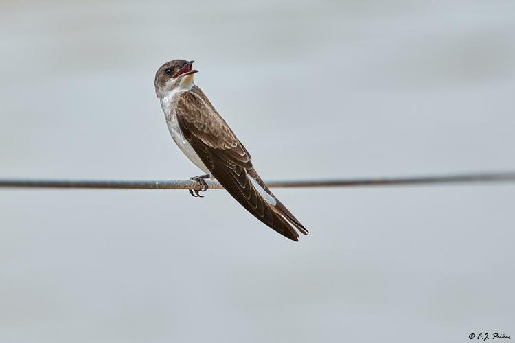 Brown-chested Martin, Pantanal, Brazil