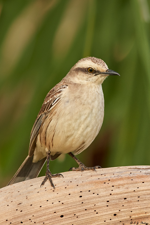 Chalk-browed Mockingbird, Pantanal, Brazil