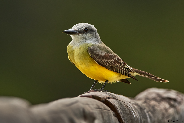 Tropical Kingbird, Pantanal, Brazi;