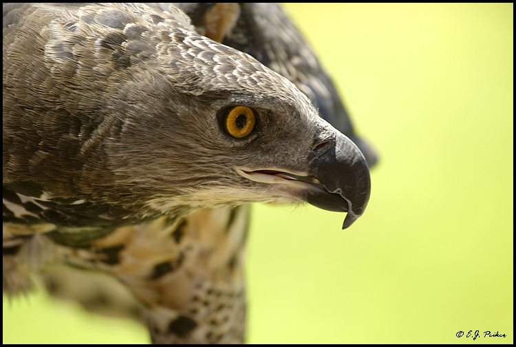 African Crowned Eagle, Escondido, CA (captive)