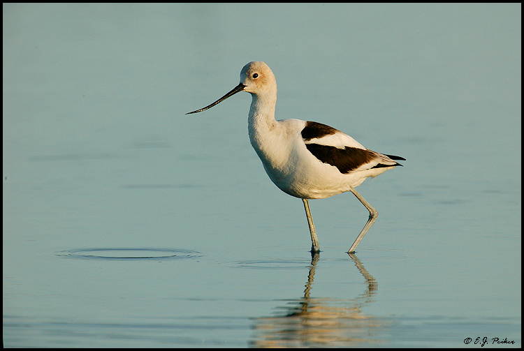 American Avocet, Huntington Beach, CA