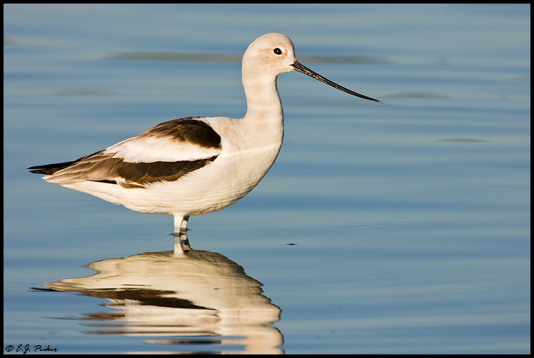 Avocet Page