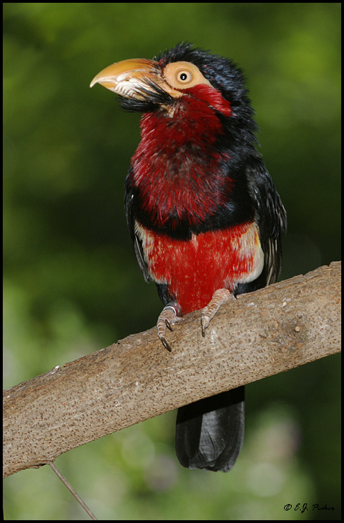 Bearded Barbet, Escondido, CA