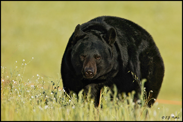 Black Bear, Mariposa, CA