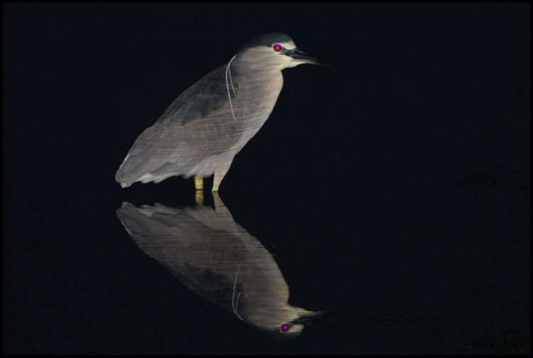 Black-crowned Night Heron, Huntington Beach, CA