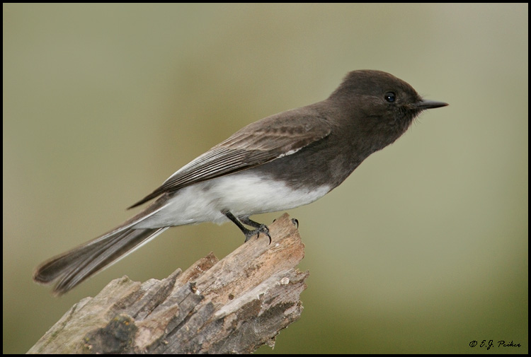 Black Phoebe, Escondido, CA