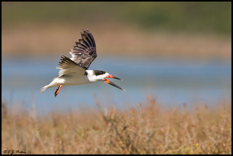 Black Skimmer, Newport Beach, CA