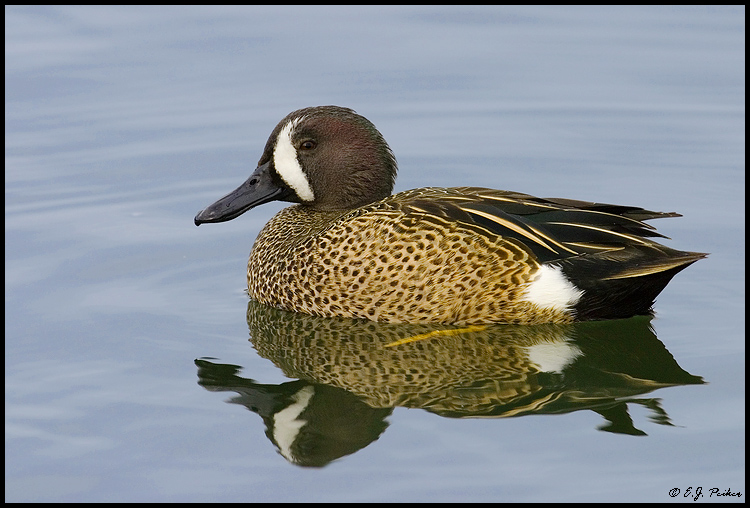 Blue-winged Teal, Huntington Beach, CA