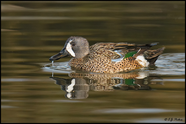 Blue-winged Teal, Newport Beach, CA