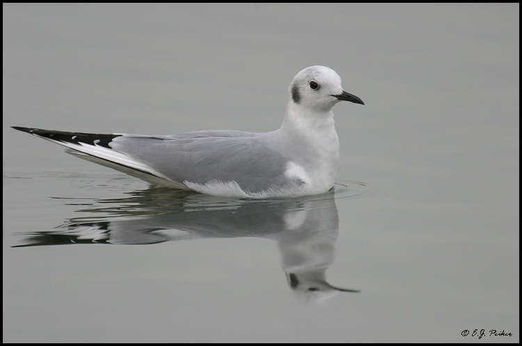 Bonaparte's Gull, Huntington Beach, CA