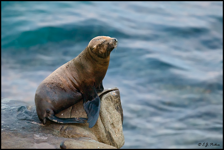 California Sea Lion, La Jolla, CA