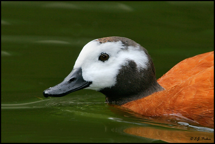Cape Shelduck, Escondido, CA