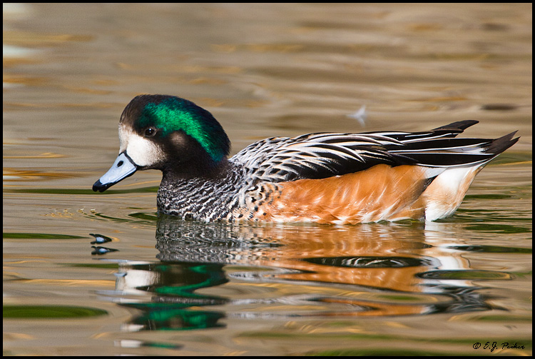 Chiloe Wigeon, Escondido, CA